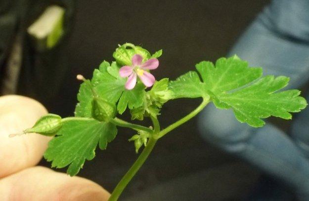 Glanzige ooievaarsbek - Geranium lucidum